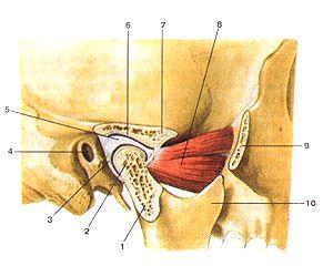 ...сустав - парное сочленение суставных головок нижней челюсти с...